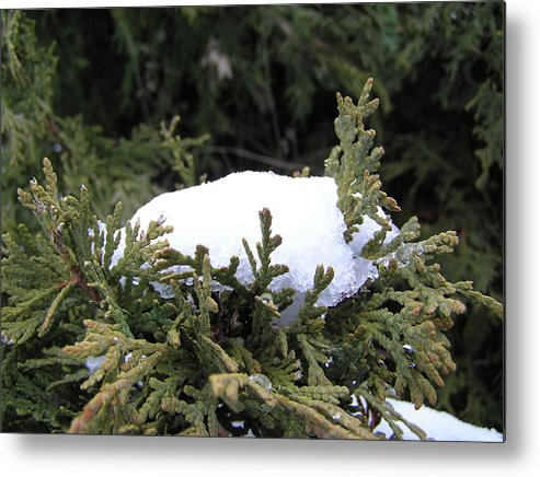 Snow Metal Print featuring the photograph Snow On Cedar Tree by Richard Mitchell