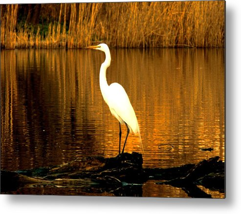 Egret Metal Print featuring the photograph Standing Proud by Kendall Eutemey