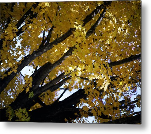 Trees Metal Print featuring the photograph Study For Autumn 3 by Steve Parrott