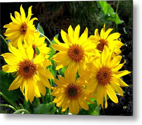 Wildflowers Metal Print featuring the photograph Sunlit Wild Sunflowers by Will Borden