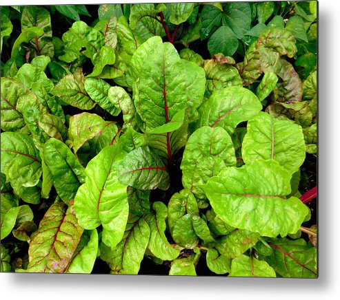 Silver Beet Metal Print featuring the painting Swiss Chard In A Vegetable Garden 4 by Jeelan Clark