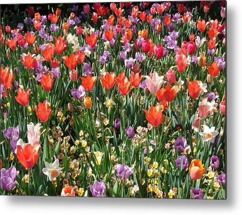 Landscape Metal Print featuring the photograph Tulip Delight 2 by Shiana Canatella