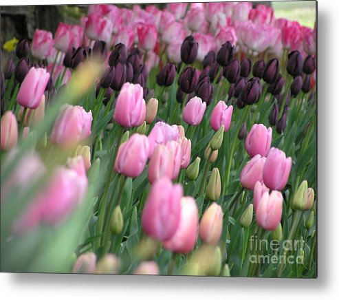 Tulips Metal Print featuring the photograph Tulip Dreams by Louise Magno