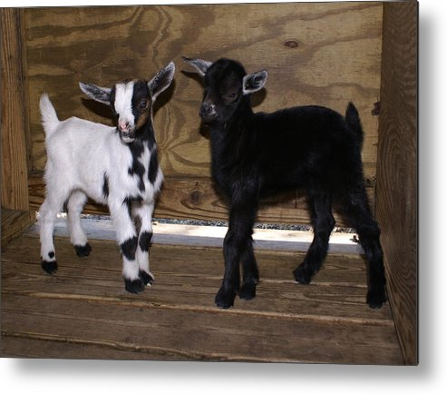 Baby Goat Twins Metal Print featuring the photograph Twin Kids by Debbie May