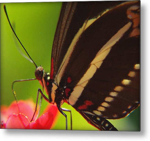 Butterflies Metal Print featuring the photograph Delicate Touch.. by Al Swasey