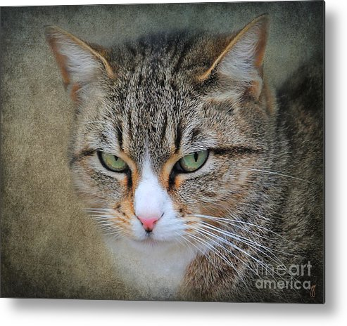 Bigly Metal Print featuring the photograph Gray Tabby Cat by Jai Johnson