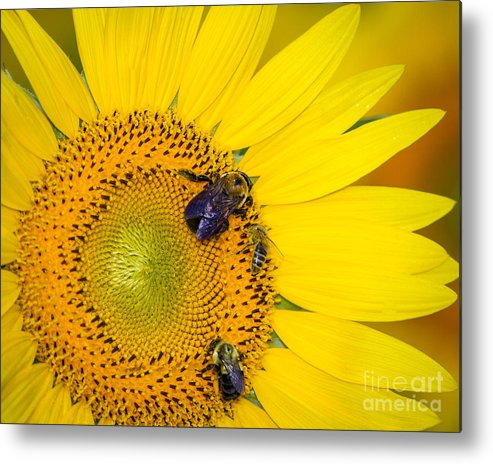 Sunflower Metal Print featuring the photograph Plenty To Share by Dale Nelson