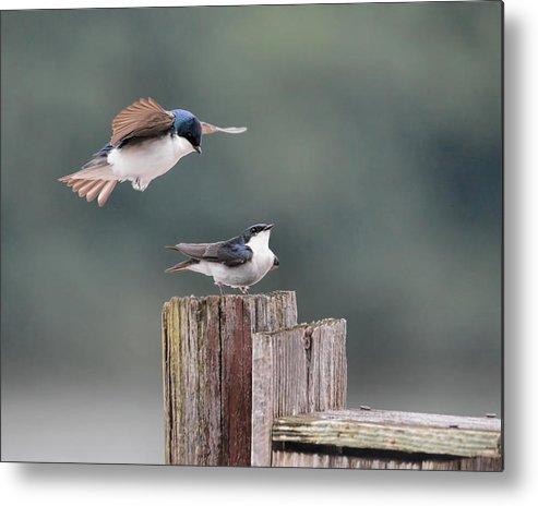 Bird Metal Print featuring the photograph Tree Swallows Mating 1 by Jai Johnson