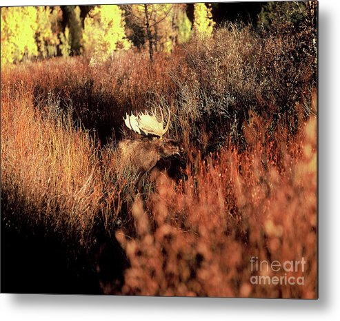 Moose Metal Print featuring the photograph Moose by Greg Payne