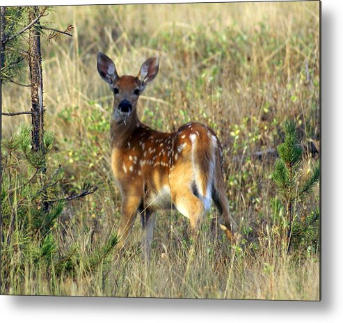 Deer Metal Print featuring the photograph Fawn by Marty Koch