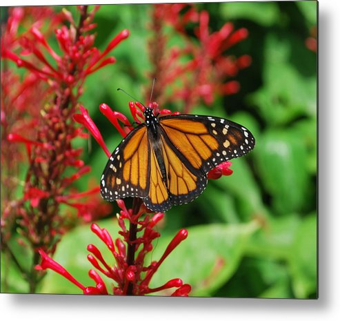 Butterfly Metal Print featuring the photograph Flower Fly by Amanda Vouglas