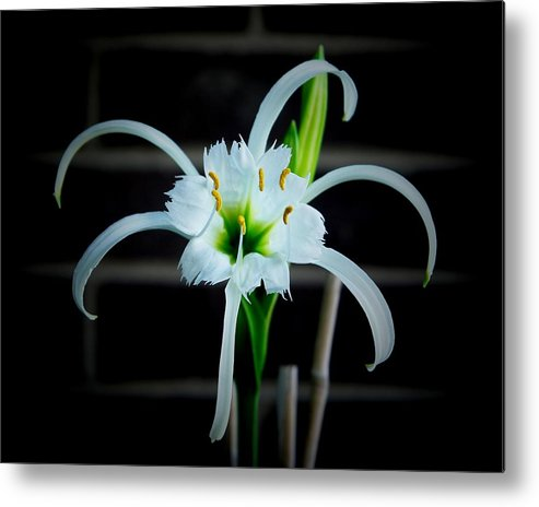 Peruvian Daffodil Metal Print featuring the photograph Peruvian Daffodil - 8x10 by B Nelson