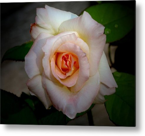 Rose Metal Print featuring the photograph Rose Blushing After Rain by B Nelson