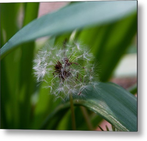 Dandelion Metal Print featuring the photograph Make A Wish by Kenna Westerman