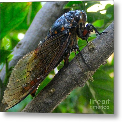 Cicada Metal Print featuring the photograph Taking A Rest by Kathy Daxon