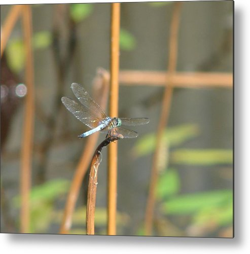 Dragonfly Metal Print featuring the photograph Breaktime by Shiana Canatella