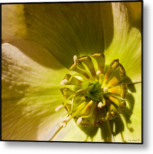 Flora Metal Print featuring the photograph Lenten Rose Study by Daniel G Walczyk