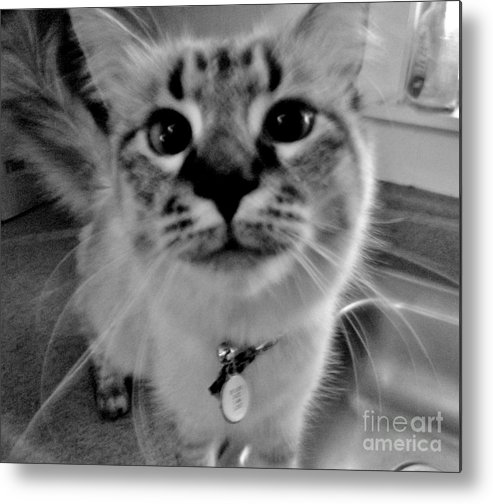 Cat Metal Print featuring the photograph Who Could Resist This Puss by Lori-Anne Fay