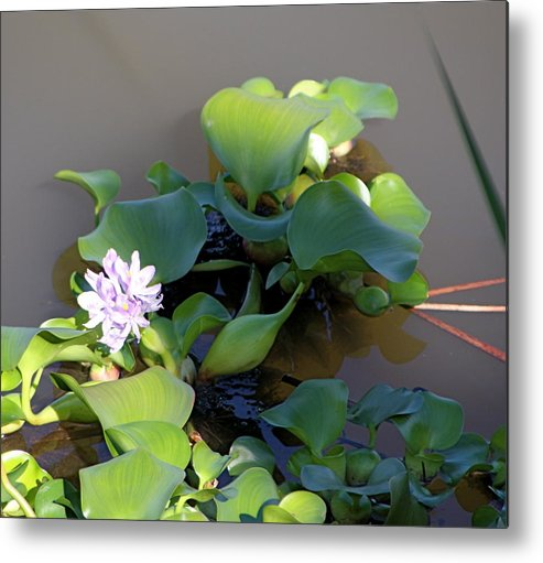 Flower Metal Print featuring the photograph Lilly Pad On The River by Kenna Westerman
