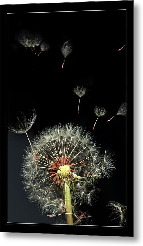 Flower Metal Print featuring the photograph Danelion Event by Richard Gordon