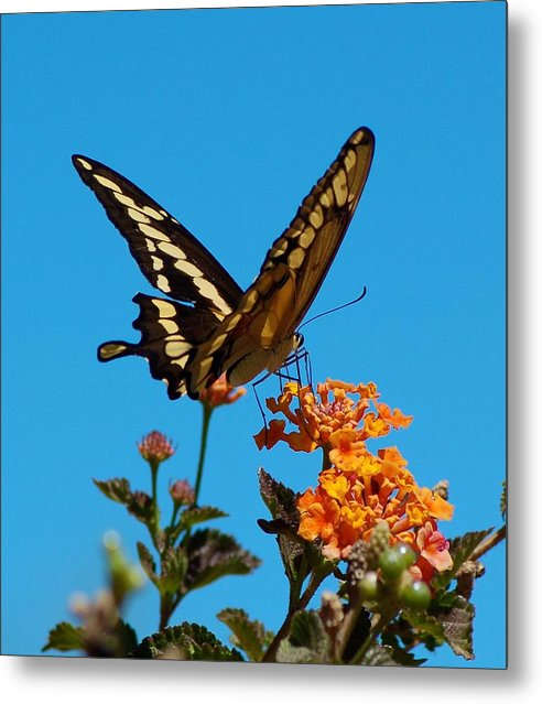 Butterfly Metal Print featuring the photograph Butterfly II by Susan Heller