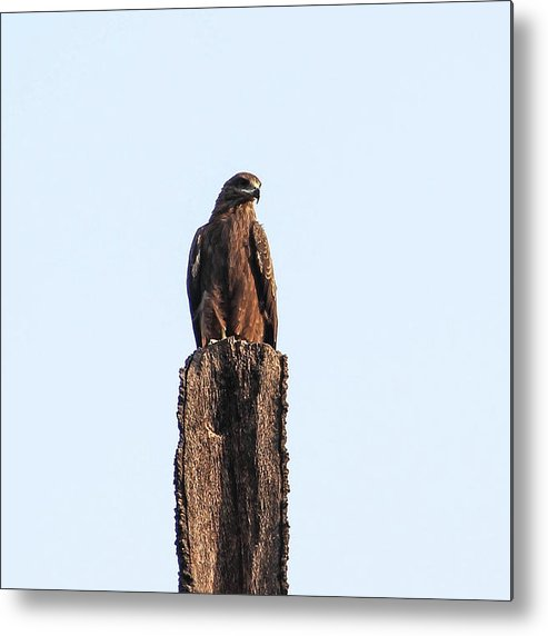 New Delhi Metal Print featuring the photograph Eagle by Parveen Kumar