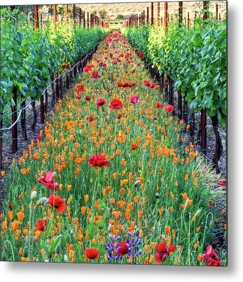 Tranquility Metal Print featuring the photograph Poppy Lined Vineyard by Rmb Images / Photography By Robert Bowman