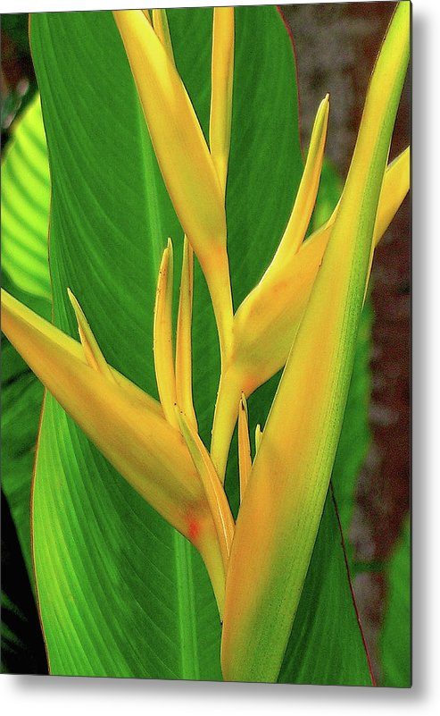 Hawaii Flowers Metal Print featuring the photograph Hawaii Golden Torch by James Temple