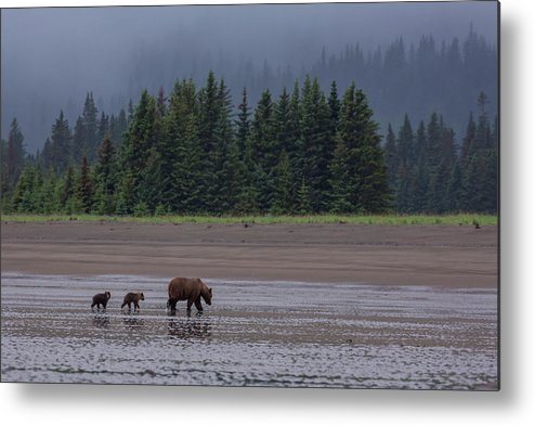 Brown Bear Metal Print featuring the photograph Brown Bear In Lake Clark National Park by Gavriel Jecan