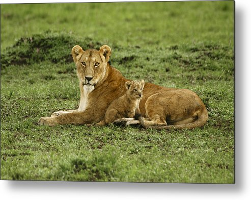 Lion Metal Print featuring the photograph Mama's Little Baby by Michele Burgess