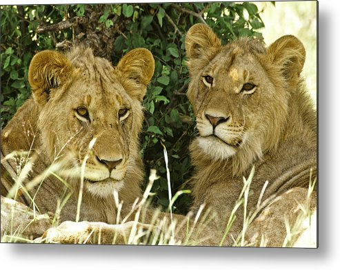 Lion Metal Print featuring the photograph Young Brothers by Michele Burgess