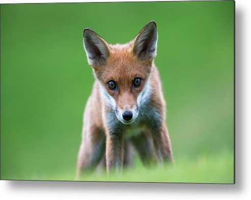 Conspiracy Metal Print featuring the photograph Red Fox Cub Portrait by James Warwick