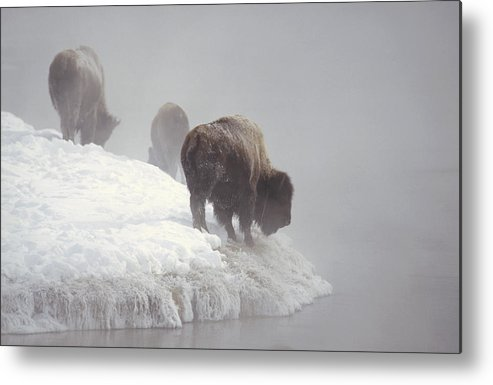 Feb0514 Metal Print featuring the photograph Bison Along Snowy Riverbank Yellowstone by Konrad Wothe