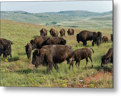 Grass Metal Print featuring the photograph Bison Buffalo In Wind Cave National Park by Mark Newman