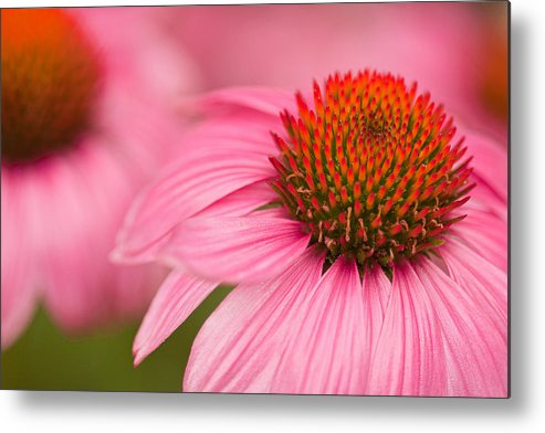 Coneflowers Metal Print featuring the photograph Boldly Summer by Lindley Johnson