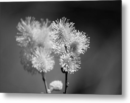 Pussy Willow Metal Print featuring the photograph Burst by Lisa Kane