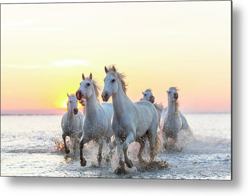 Animal Themes Metal Print featuring the photograph Camargue White Horses Running In Water by Peter Adams