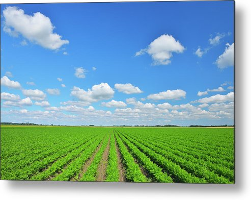 Tranquility Metal Print featuring the photograph Carrot Field by Raimund Linke