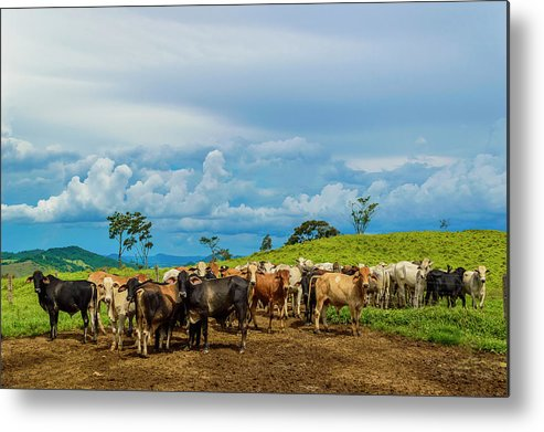 Grass Metal Print featuring the photograph Cattle by Kcris Ramos