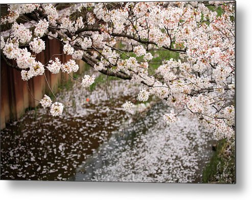 Season Metal Print featuring the photograph Cherry Blossoms by Photography By Zhangxun