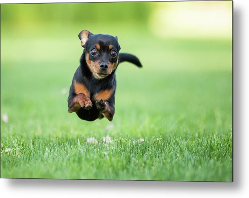 Pets Metal Print featuring the photograph Chihuahua Dog Running by Purple Collar Pet Photography