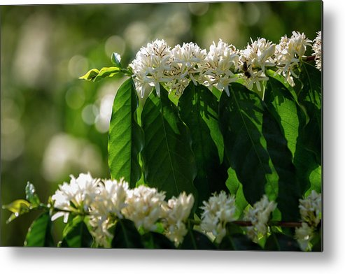 Hanging Metal Print featuring the photograph Coffee Coffea Arabia Blossoms, Kona by Alvis Upitis