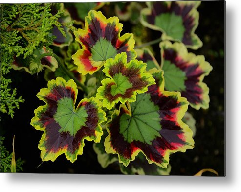 Seattle Metal Print featuring the photograph Coleus by Richard Henne