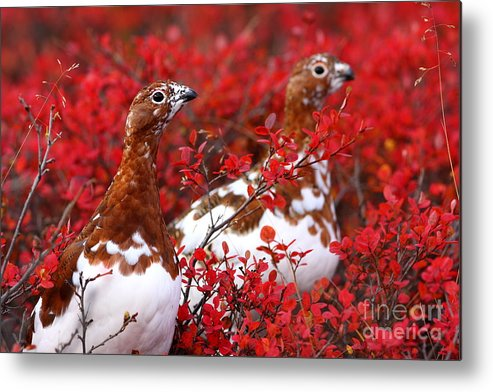 Molting Metal Print featuring the photograph Colorful Ptarmigan by Bill Singleton