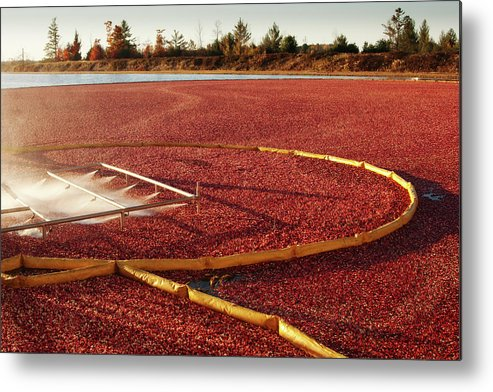 Working Metal Print featuring the photograph Cranberry Farm Harvesting For by Yinyang