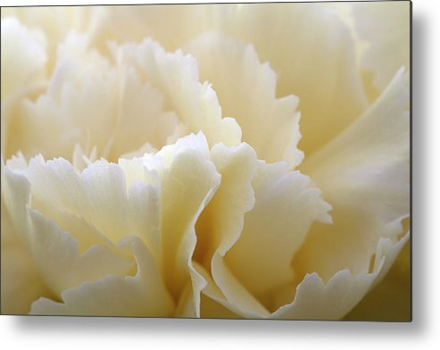 Netherlands Metal Print featuring the photograph Cream Coloured Carnation, Close-up by Roel Meijer