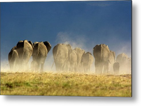 Following Metal Print featuring the photograph Elephant Herd by Wldavies