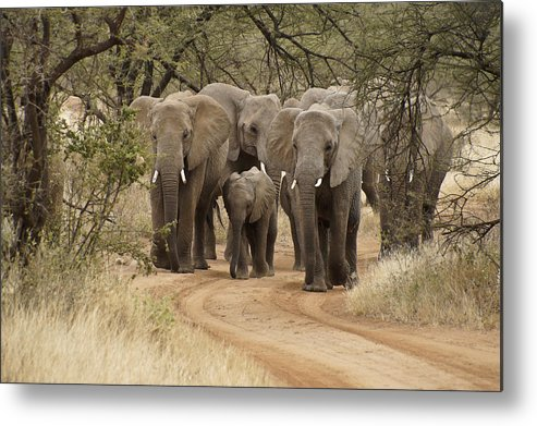 Africa Metal Print featuring the photograph Elephants Have the Right of Way by Michele Burgess