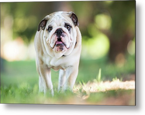 Pets Metal Print featuring the photograph English Bulldog Puppy Walking Outdoors by Purple Collar Pet Photography