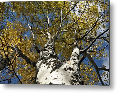Gold Metal Print featuring the photograph Fall Aspen by Frank Madia